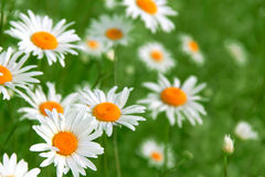 Camomile. S beautiful summer background close up Stock Photo