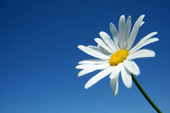 Camomile. On a background of the sky Stock Images