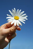 Camomile. The hand holds a camomile on a background of the sky Stock Photography