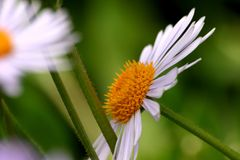 Camomile. Growing in the meadow, macro Stock Photography