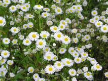 Camomile 3. Meadow of camomiles stock photos