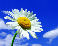 Camomile. On blue sky background Royalty Free Stock Photo