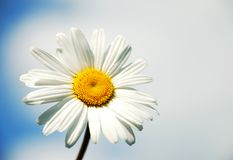 Camomile. On the sky and clouds background Royalty Free Stock Images