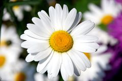 Camomile. White camomile photographed close up Royalty Free Stock Photography