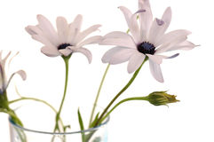 Camomile. Gentle camomile flowers in vase Stock Images