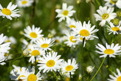 Camomile Stock Image