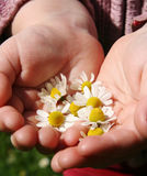 Camomile. Chamomile flowers in small girls hands Stock Images