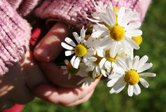 Camomile. Chamomile flowers in small girls hands Stock Photo
