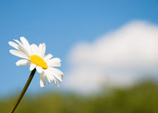 Camomile. On the sky background. Macro Royalty Free Stock Image