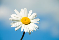 Camomile. On the sky background. Macro Royalty Free Stock Photography