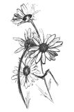 Camomile. Black colored sketch of four camomile Royalty Free Stock Photography