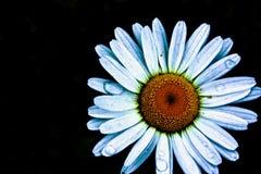 camomile Royaltyfri Fotografi