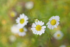 Camomile. Herbal plant camomile (Matricaria recutita Stock Photos