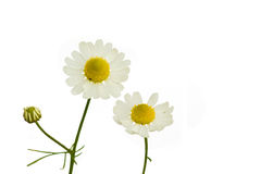 Camomile. (Matricaria recutita) on the white background Stock Photos
