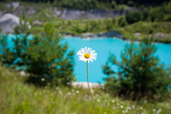 Camomile. Against blue water in the afternoon Royalty Free Stock Image