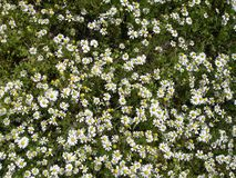 Camomile background Stock Photography