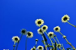 Camomile. On a background of the cloudless sky Stock Photos