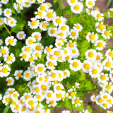 Camomile  background Royalty Free Stock Image
