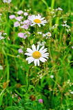 Camomile on background of grass Royalty Free Stock Photos