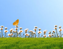 Camomile on a background of the sky. With butterfly stock photo