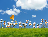 Camomile on a background of the sky. With butterfly stock image