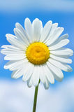 Camomile. Beautiful daisy closeup on a background of blue sky Royalty Free Stock Photos