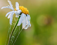 Camomile Royalty Free Stock Photos