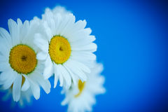 Camomile Royalty Free Stock Image