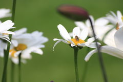 Camomile. Bee pollinate flower on a sunny day royalty free stock photo