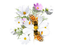 Camomile and bees Stock Photo