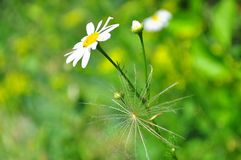 Camomile behind the dandelion on the original background stock photography
