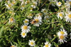 Bee on camomile bloom Stock Photography