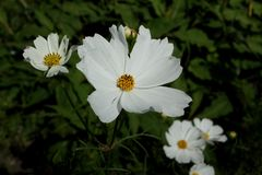 Camomile. Royalty Free Stock Images
