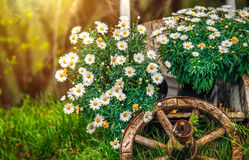 Camomile blossom at lawn with green grass Royalty Free Stock Images
