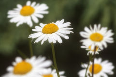Camomile blossoming flowers Royalty Free Stock Photo