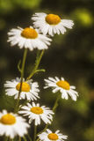 Camomile blossoming flowers Stock Images