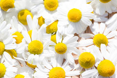 Camomile blossoms Stock Photography