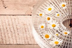 Camomile blossoms, dried camomile flowers. doctor treatment and prevention of immune concept, medicine - folk, alternative, royalty free stock images