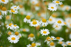 Camomile blossoms summer flowers Stock Photo