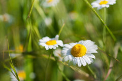 Camomile blossoms wild flowers Stock Photo