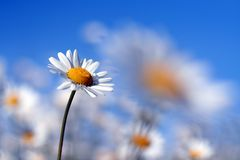 Camomile in blue Stock Photos