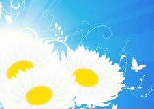 Camomile blue background Stock Photos