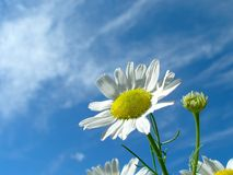 Camomile on blue skies Royalty Free Stock Image