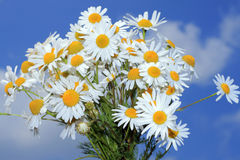 Camomile bouquet Stock Photos