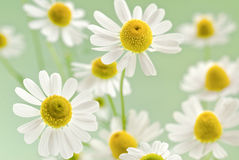 Camomile bouquet Royalty Free Stock Image