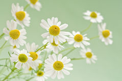 Camomile Bouquet Royalty Free Stock Photos