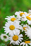 Camomile. Bouquet of daisies on green bacground Royalty Free Stock Photos
