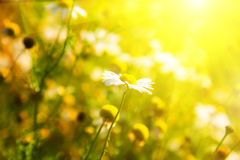 Camomile and bright sunlight Royalty Free Stock Images
