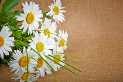 Camomile on the canvas background. Stock Photo