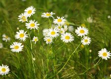 Camomile.  chamomel, daisy chain, daisy wheel.  an aromatic European plant of the daisy family, with white and yellow daisylike fl Royalty Free Stock Image